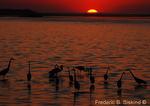 Sunrise egrets (DEG35)