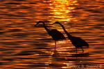 Common egrets silhouette (DEG36)