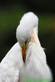 Great egret preening (DEG69a)