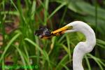Great egret with fish (DEG73)