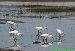 Five snowy egrets (EG121)