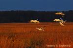 Snow geese landing (DGD81)