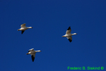 Snow geese flying (DGD82)