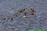 Red-breasted mergansers flying (DGD141)