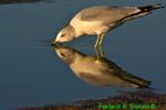 Ring-billed gull drinking (DGT34)