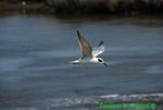 Forster's tern flying (DGT102)