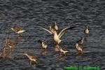 Black-headed gull and yellowlegs (DGT134)
