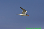 Common tern flying (DGT1b)