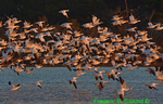 Snow geese (DGD151)