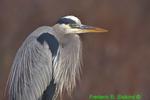 Great blue heron (DHR78)