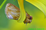 Goldenrod stowaway hanging from tickseed sunflower petal (DBU356)