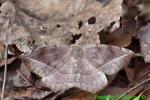 Curve-toothed Geometer Moth (DBU98b)