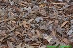Curve-toothed Geometer Moth in leaf litter (DBU98)