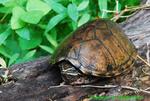 Common musk turtle (DTT25)