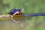 Eastern painted turtle (DTT85a)