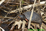 Spotted turtle (DTT126)