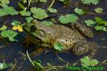 Bullfrog (DFR86a)