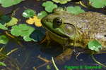 Bullfrog closeup (DFR86b)