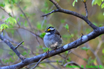 White-throated sparrow (DSB167a)