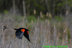 Red-winged blackbird flying (DSB28a)