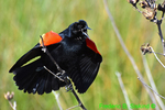 Red-winged blackbird displaying (DSB29a)