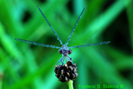 Damselfly with dew (DDF1401)