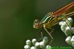 American rubyspot, female (DDF449b)