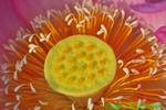 Lotus blossom core (DFL109)