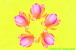 Penta lotus (DFL90b3)