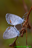 Mating dew-covered Eastern Tailed Blues (DBU442)