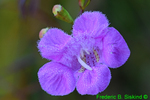 Purple Gerardia with dew (DFL431)