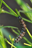 Buckeye butterfly caterpillar, next to last instar (DCP25)