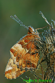 Variegated fritillary with dew (DBU183)
