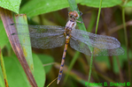 Blue-faced meadowhawk (DDF1301)