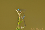 Slender Bluets mating pair (DDF1511)