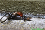 Five-lined skinks mating (DFR140a)