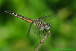 Blue dasher, female (DDF695a)