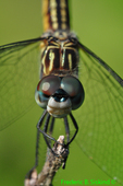 Blue dasher, female (DDF696)