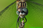 Blue dasher, female (DDF696b)