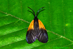 Orange-patched Smoky Moth (DBU1541)