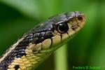 Eastern Garter Snake head (DSN170)