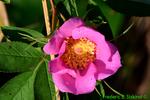 Swamp rose (DFL651)