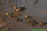 Mallard and 8 young (DGD52a)
