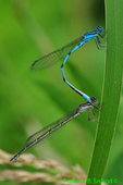 Big Bluets in tandem (DDF1591)