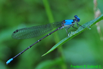 Blue-fronted dancer (DDF894)