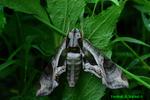 Pandora Sphinx moth (DBU1651)
