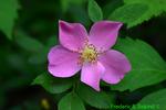 Swamp rose (DFL655)