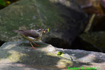 Louisiana waterthrush with food for young (DSM382)