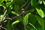 Prince baskettail, teneral (DDF1370)