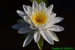 Lotus (DFL486)